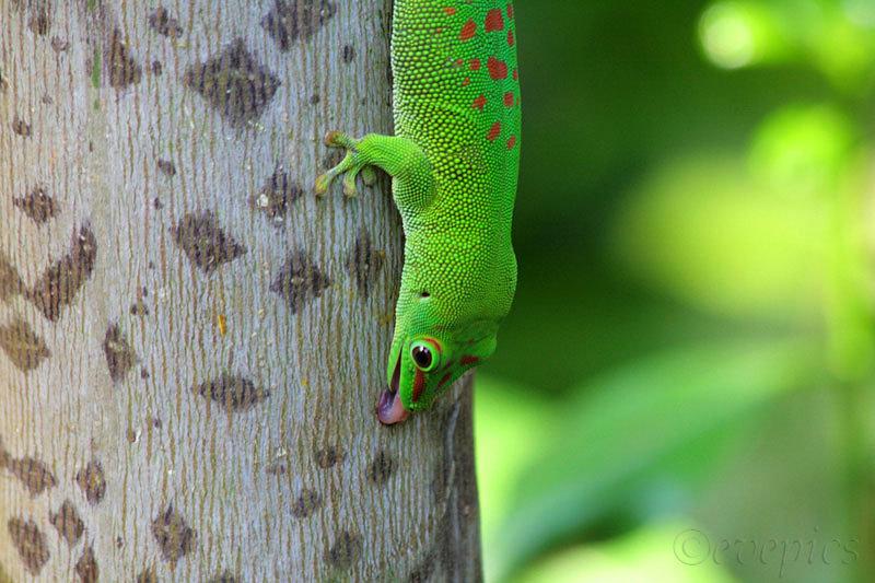Green Gecko/Zoo Zürich