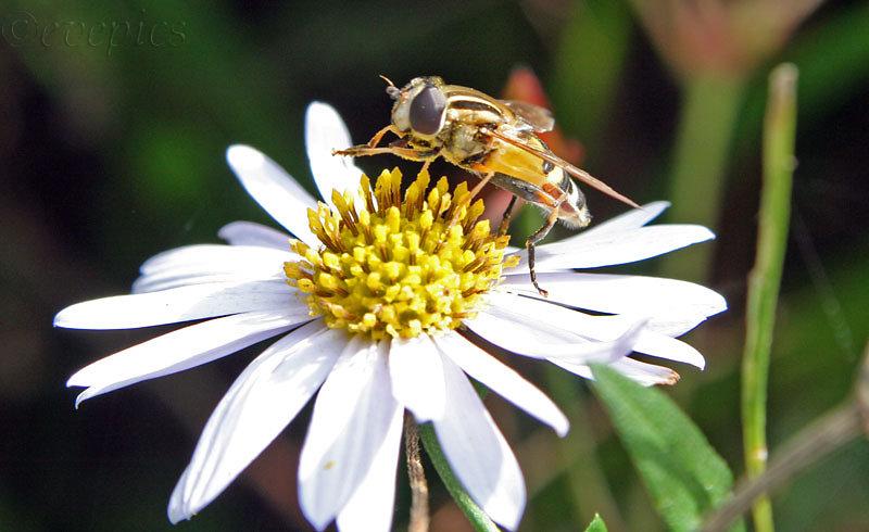 Unbekanntes Insekt auf Blume