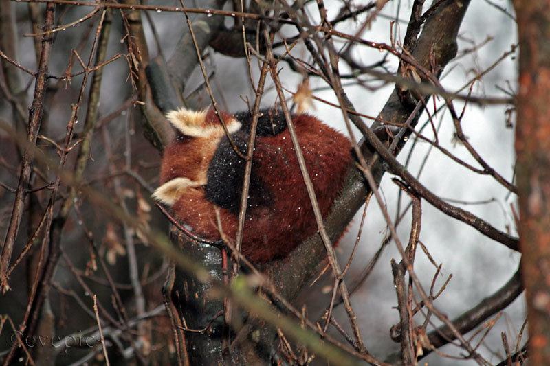 Roter Panda eingerollt