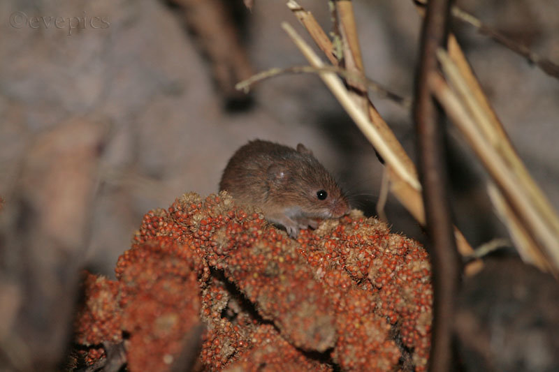 Maus auf Kolbenhirse