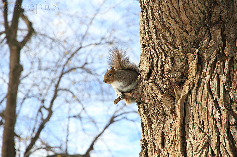 Boston squirrel I