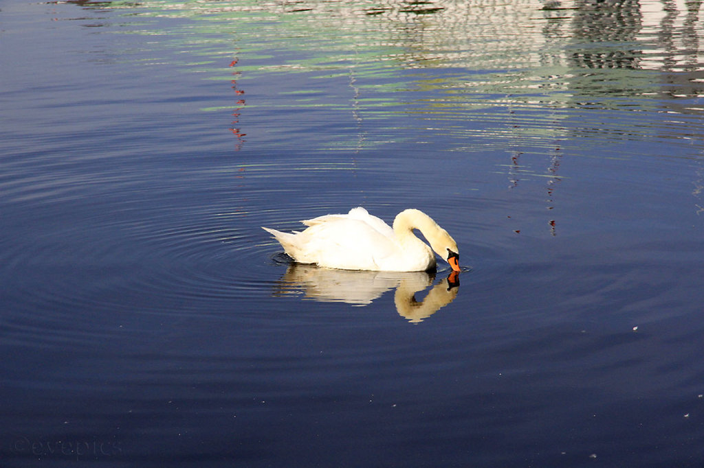 Swan looking at its reflection